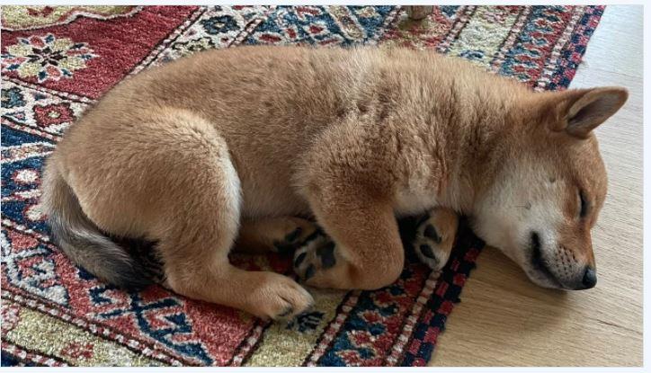 イーロン・マスクの新しい子犬のツイートが柴犬のトークンを急上昇させ、FLOKIは24時間で900%以上ジャンプします